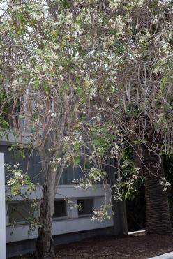 moringa tree-2