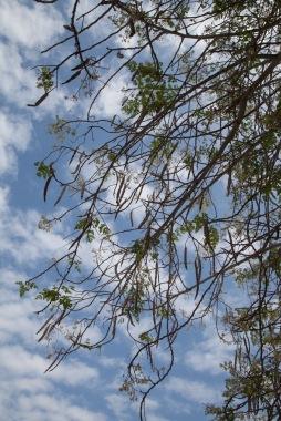 moringa tree-3