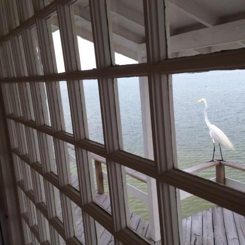 Visiting egret