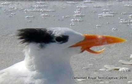 royal_tern_1